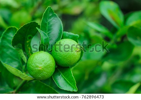 Green lemons on a tree growing in a Thai farm. - Shutterstock ID 762896473