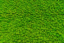 Green moss as a background grows in the interior of the office on the wall. Texture of angry moss on the wall.