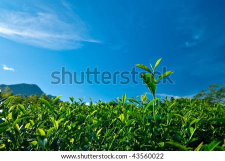 green tea leaf with blue sky background