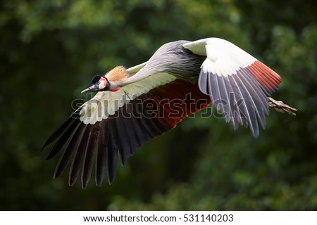 Shutterstock  Grey crowned crane, Balearica regulorum, national bird of Uganda with crown of stiff golden feathers,  flying against green blurred background. Uganda, Murchison falls, Africa.