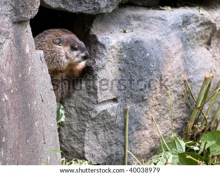 Groundhog Tunnels Groundhog peeking out his maze of tunnels in a stone retaining wall.