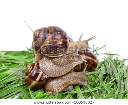 Group Garden snail (Helix aspersa) Snails source of protein