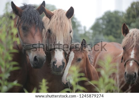 group of brown horses father, mother and baby, holding heads close together, with vintage leather harness, behind green plants, outdoors on a sunny summer day in Poland