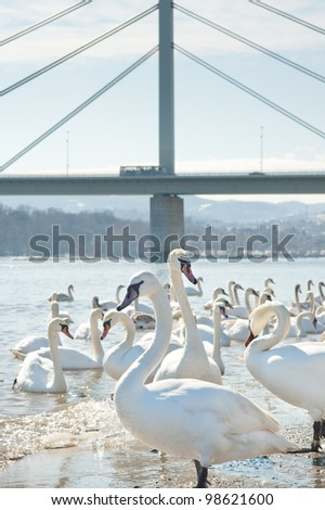 group of swans  on a cold river