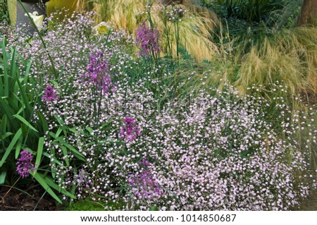 GYPSOPHILA 'FESTIVAL PINK', STIPA TENUISSIMA, AND ALLIUM CARNIATUM IN GARDEN BORDER #1014850687