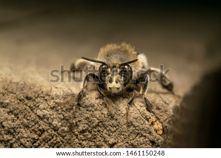 Hairy-footed flower bee (Anthophora plumipes), on the wooden board. The hairy-footed flower bees commonly inhabit gardens, open woodland, and coastal sites #1461150248