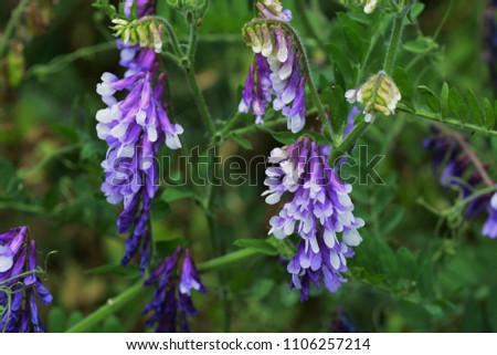 """""""Hairy vetch""""which is clusterd in the field"""