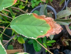 Half rotten leaves,Leaf will rot