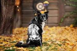 Halloween. Border Collie dog in skeleton costume