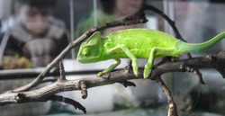 Сhameleon Yemen Veiled (Chamaeleo calyptratus) in the terrarium. Exotic pet at home. Care of  reptile lizard