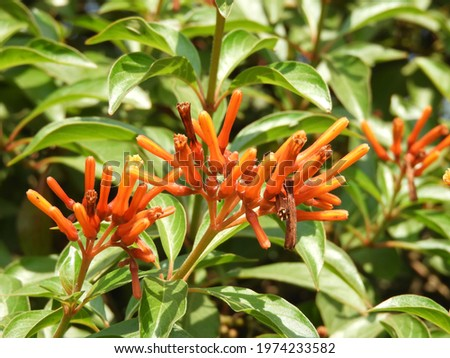 HAMELIA PATENS PERENNIAL SHRUB OR SMALL TREE IN COFFEE FAMILY Stok fotoğraf ©