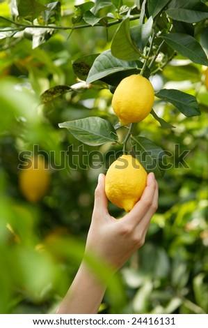 hand picking a lemon