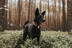 Happy adult black mixed breed dog standing in a pine forest