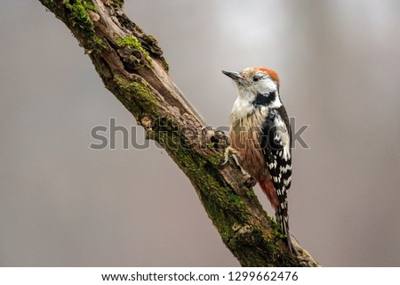 Тhe incredible European average spotted woodpecker descended from the tall trees