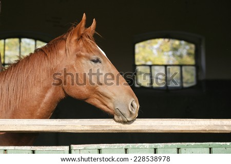Head shot of a thoroughbred horse looking over stable door #228538978