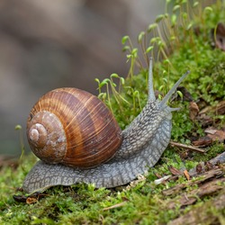 Helix pomatia, common names of the Roman snail, Burgundy snail, edible snail or escargot, is a species of the Helicidae family. Helix pomatia mollusk in nature.