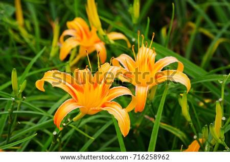 Hemerocallis fulva,Orange Daylily,The Orange daylily flower at sixty stone mountain, Fuli, Hualien, Taiwan