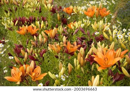 Hemerocallis – Hybride, Reverend Traub, Xanthorrhoeaceae family.  Stock fotó ©