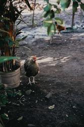 hen, reckless hen, farm, laying