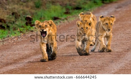 """""""Here we Come!""""  These 4 lion cubs were just strolling down a dirt road in Kenya's Maasai Mara National Park.  #666644245"""