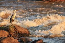heron bird african wildlife migratory birds of the savannah kruger national park south africa