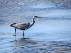 herons are long-legged, long-necked, freshwater and coastal birds in the family Ardeidae