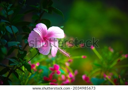 Hibiscus flower in the mallow family, Malvaceae. Hibiscus rosa-sinensis, known as the Shoe Flower or colloquially as Chinese hibiscus, China rose, Hawaiian hibiscus, rose mallow  and shoe black plant
