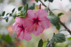 Hibiscus rosa-sinensis, known colloquially as Chinese hibiscus, China rose, Hawaiian hibiscus, rose mallow and shoeblackplant, is a species of tropical hibiscus, a flowering plant in the Hibisceae tr