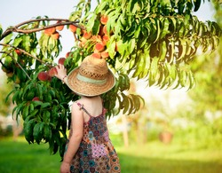 Сhild collect fruits from a tree in the garden. Healthy food for kids. Diet for children. Little girl in a straw hat