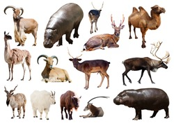 hippo and other Artiodactyla mammal animals over white background
