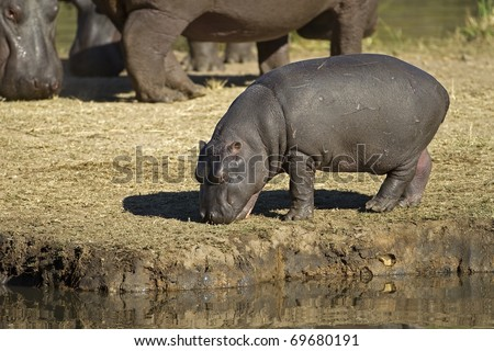 Hippopotamus baby walking on river bank; hippopotamus amphibius