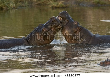 2 Hippos fight in the water