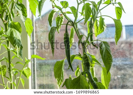 Hot chilli peppers on a window sill in a pot,green pepper in a pot on the window,green pod of paprika on a bush close-up