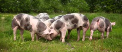 Household domestic pigs lives on animal husbandry farm. Organic livestock breeding is branch of animal husbandry