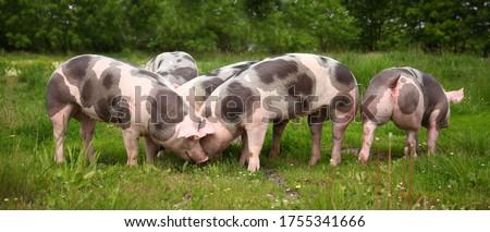 Photo of   Household domestic pigs lives on animal husbandry farm. Organic livestock breeding is branch of animal husbandry