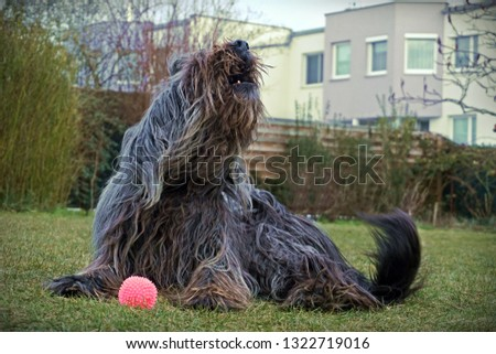 howling Briard in the garden #1322719016