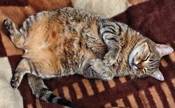 Huge fat stuffed cat sleeping on a blanket