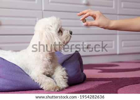 Human hand  gives the maltese dog tablet  protection tick   . Tick And Flea Prevention concept .