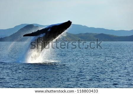Humpback whale breaching, Whitsunday Islands, Australia
