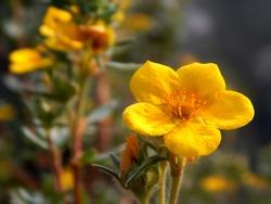 Hypericum Rock Rose Blooming Flower