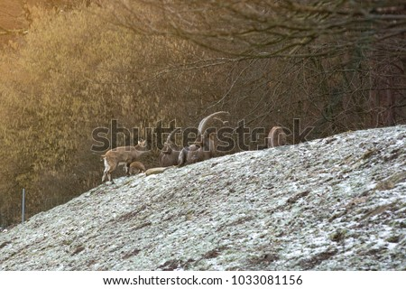 ibex resting in a meadow