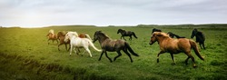 Icelandic horses running at the meadow, Iceland