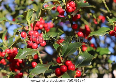 Ilex, or holly, It is a genus of small, evergreen trees with smooth, glabrous, or pubescent branchlets. The plants are generally slow-growing #750786574