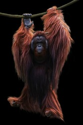image orangutan hanging on a rope isolated over black background. This has clipping path.