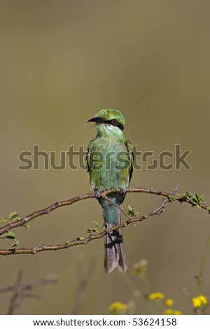 Immature Swallow-tailed bee-eater; merops hirundineus