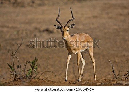 Impala walking out of dry riverbed; aepyceros melampus; South Africa