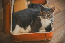 In an old orange suitcase are things and a gray home cute cat, which is comfortable in it. Collecting things for the trip.