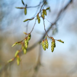 Inflorescence of a hornbeam (Carpinus betulus) in a park in Germany in springtime