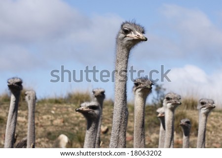 Inquisitive ostriches with just their long necks and heads showing - stock photo