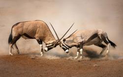 ?Intense fight between two male Gemsbok on dusty plains of Etosha